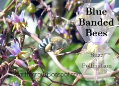 Bee Banded Bees - native to all mainland states of Australia. Known for the Buzz Pollination.  http://starttogrow.blogspot.com.au/2015/10/blue-banded-bees-buzz-pollination.html
