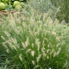 More compact and shorter than the species. Soft greenish-cream panicles appear a few weeks earlier than the species. Fountain Grass, Foundation Planting, Border Plants, Hardy Perennials, Patio Plants, Clay Soil, Free Plants, Aquatic Plants, Plants