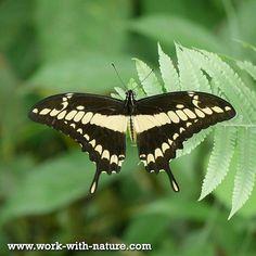 #Vlinder 'Papilio Thoas' in het #regenwoud van stichting Work with Nature bij San Miguel #CostaRica  #natuurfoto #lovenature #natuur #naturelovers #mariposa #conservation #natuurbescherming #wildlifeofcostarica #puravida