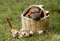 Northern Bushcraft - Foraging in the Pacific Northwest. The following guides are for identifying wild edible plants, edible mushrooms, seaweed, and other edibles in the Pacific Northwest, including British Columbia, Washington, Oregon, Alaska, Idaho, and the Rocky Mountains.