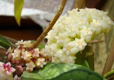 Hoya callistophylla & verticillata