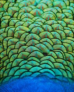 Peacock Birds or Peafowl are 2 Asiatic & 1 African species of flying bird in… Patterns In Nature, Textures Patterns, Nature Pattern, Geometric Patterns, Palette Verte, Foto Macro, Peacock Feathers, Peacock Colors, Peacock Pattern