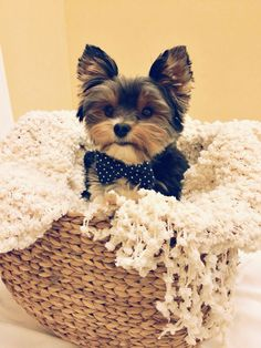 Yorkshire terrier. Yorkie. Dog bow tie. Dog photography. Please vote for Taylor the Canine Superstar at the site provide. You can vote up to ten times an hour! Thank you!! http://www.caninesuperstar.com/vote_13607 #yorkshireterrier