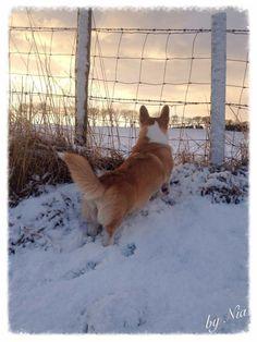Nia, the corgi, watching the pheasants!