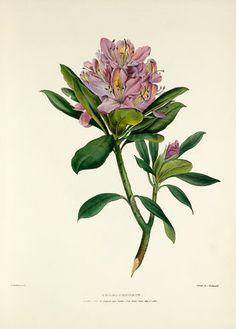 Rhododendron Bartholomew, Valentine (1799-1879) (Artist) © RHS, Lindley Library