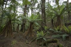 Myrtle forest, the Tarkine, NE Tasmania