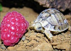 tiny turtle!!!! the size of a raspberry!!! shout out to @SingerSkiergirl for loving raspberries!!
