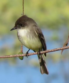Bird Photos, Birding Sites, Bird Information: EASTERN PHOEBE, EAGLE LAKES COMMUNITY PARK, NAPLES...