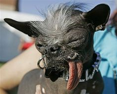 Beauty is only skin deep: Chinese Crested and Chihuahua mix dog 'Elwood' won the title of World's ugliest dog of 2007 at the World's Ugliest Dog Contest. He died unexpectedly on Thanksgiving morning Ugly Animals, Cute Animals, Little Dogs, World Ugliest Dog, Ugliest Dog Contest, Nova Jersey, Dog Competitions, Ugly Dogs, Chinese Crested Dog