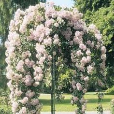 Weeping Rose Tree The Effective Pictures We Offer You About flower garden ideas in front of house te Perennial Flowering Plants, Sun Plants, Flowering Trees, Beautiful Gardens, Beautiful Flowers, Weeping Trees, Patio Trees, Garden Front Of House, Rose Trees