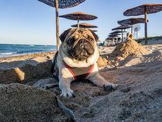 I'm King Maurice the Pug of Sand Castle!  #mauricethepug #blacksea #romania #castle #sandcastle #sand #king #kingmaurice #sea #bluesky #summer #sun #sunnyday #vamaveche #happy #beach #puglife #pugchat #pug #mops #dog