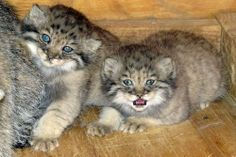 Baby Pallas's Cat Kittens at the Feline Conservation Center. Pallas's Cat (Otocolobus manul) is a near threatened species from the steppes and sub-mountainous areas of central Asia. Pretty Cats, Beautiful Cats, Animals Beautiful, Cute Cats, Baby Animals Pictures, Cute Animals, Animal Fun, Baby Kittens, Cats And Kittens
