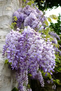 Purple Flowers - My site Wisteria Tree, Purple Wisteria, Purple Flowers, Beautiful Flowers, Exotic Flowers, Yellow Roses, Pink Roses, Dame Nature, Parcs