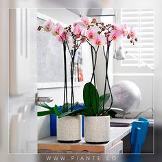 #Piante ¿Sabías que las Orquídeas en el interior reducen la contaminación acústica? Tallos, hojas, ramas y las demás partes de la planta absorben el sonido que mejoran la tranquilidad disminuyendo el estrés. - http://piante.co/ - #Flores #Premium #Decoración #IdeasDeRegalos #Colombia #OrquídeasDeColombia #ColombianOrchids #Regalos #Regaloscorporativos