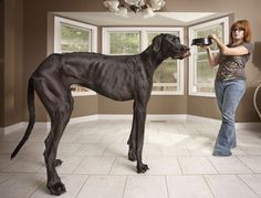 Zeus — Tallest Dog Living    This big guy's been grabbing a lot of headlines lately. Resembling more the height of a horse, the Great Dane Zeus hits the 1.118 m mark. He lives with Denise Doorlag and her family in Otsego, Michigan.