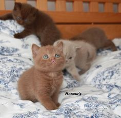 British Shorthair Cinnamon kittens - Google Search