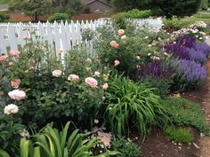 Eary spring blooms.  David Austin rose at front, Abraham Darby just getting started.  A mix of salvias, Blue Hill and Caradonna.  Blue Hill is low and bushy and Caradonna is upright.