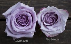 Color Study of Lavender and Purple Roses by Harvest Roses - http://www.harvestwholesale.com Ocean Song & Purple Haze