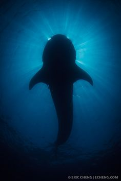Whale shark silhouette by echeng, via Flickr