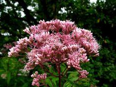 "Eupatorium ""Purple Bush"" (tall, bees)"