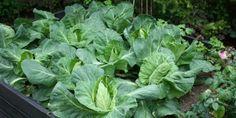 Gode råd til kåldyrkning, fx hvordan holdes sommerfuglelarverne væk. SPIDSKÅL - Cabbage