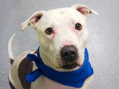 TO BE DESTROYED - 11/21/14 Manhattan Center My name is LEGEND AKA LEGAND. My Animal ID # is A1020960. I am a male white and brown am pit bull ter mix. The shelter thinks I am about 5 YEARS old. I came in the shelter as a OWNER SUR on 11/17/2014 from NY 10469, owner surrender reason stated was LLORDPRIVA. For more information on adopting from the NYC AC&C, or to find a rescue to assist, please read the following: http://urgentpetsondeathrow.org/must-read/