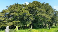 The other day I happened to read something about an ancient yew tree in the churchyard of St Cynog's Church, Defynnog, near Sennybridge. The article reckoned that the tree was over 5,000 year…