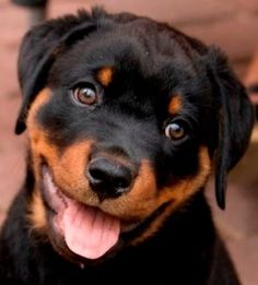 rottweiler pup                                                                                                                                                                                 More