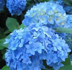 "Nikko Blue Hydrangea - ""turns green and shades of aqua after their classic blue shade and continue turning colors during the summer, with shades of coral, rust and chartreuse."""