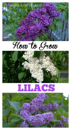 How to Grow and Care for Lilacs in your cottage garden, http://FlowerPatchFarmhouse.com
