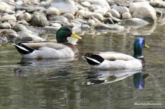 Patos selvagens