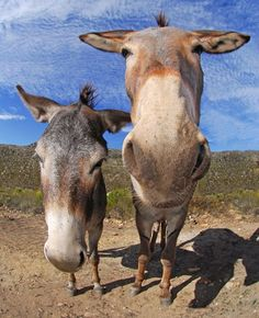 Two donkeys in the Swartberg mountainsPicture: Dale Morris / Barcroft Media