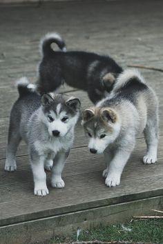 """ikwt: """"Puppy Trio (pixelspit) """""""