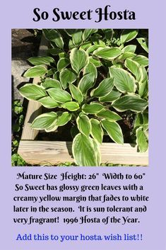 So Sweet Hosta Shade Garden Shade Perennials Shade Tolerant