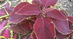 RAMUAN HERBAL RESEP NENEK MOYANG: Ramuan Herbal untuk Penyembuhan Penyakit Asma pada... Herbalism, Plant Leaves, Herbs, Plants, Gallery, Healthy, Tips, Photos, Herbal Medicine