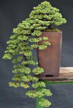 bonsai, trees, Japan, Nature                                                                                                                                                                                 More