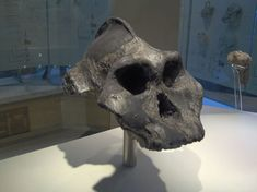 cientists disagree on whether the 2.5-million-year-old Black Skull should be called Paranthropus aethiopicus or Australopithecus aethiopicus. Image: Nrkpan/Wikicommons