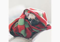 Do you love Pugs? Really love them? Treat yourself to these cute and funny Instagrams and pictures of Pugs in blankets. Which one is your favorite?