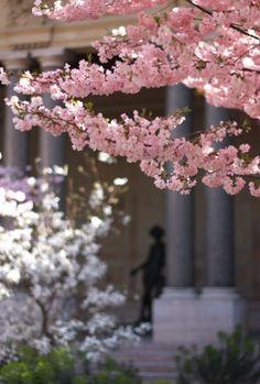 Cherry blossoms in the garden of the Petit Palais, Paris