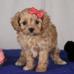 Jewel is a Female Cavapoo puppy for sale at PuppySpot. Call us today to learn more (reference 625754 when you call). Cavapoo Puppies For Sale, Puppy Facts, Puppy Finder, Puppy Mills, Love Her, Laughter, Just For You, Teddy Bear, Jewels