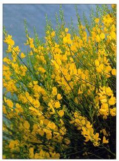 Spanish Broom – Spartium junceum