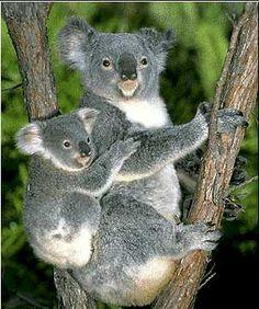 Koala Koala Koala Koala