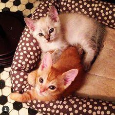 catscenter:    By @simonandmickey  #cat #cats #catlover #catlovers #animal #pet #petstagram #lovecats #ilovecats #kittty #kitten #babycat #sweet #love #beauty #cutecat #tabby #tabbycat #orangetabby #silvertabby by catsofworld  baddcats.com baddcats cats cat kittens kitten kitty