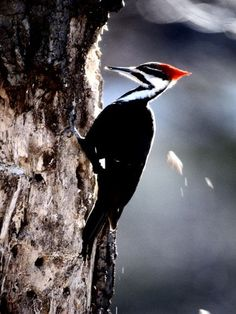 [][][] Woodpeckers. Order Piciformes. Chisel-shaped pointed bill, two toes forward and two back, stiff tail feathers. This is a Pileated Woodpecker.