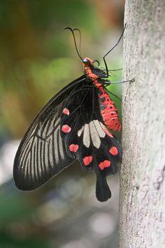 Mariposa camboyana aún no identificada. // Harryalverson - Unidentified Cambodian Butterfly (by-sa) ◆Camboya - Wikipedia http://es.wikipedia.org/wiki/Camboya #Cambodia