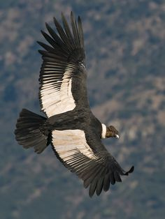 The Andean Condor is considered the largest bird of prey with an enormous wingspan of 3 meters feet) and weight up to 15 kgs All Birds, Birds Of Prey, Flying Birds, Rapace Diurne, Nicolas Vanier, Andean Condor, California Condor, Power Animal, Nazca Lines