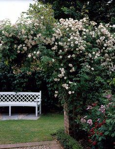 Rose 'Felicite Perpetue' • Rosa 'Felicite Perpetue' • Plants & Flowers • 99Roots.com