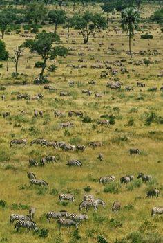 Zebras grazing, Okavango Delta, Botswana. BelAfrique your personal travel planner - www.BelAfrique.com