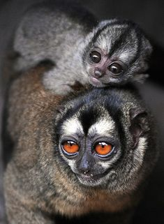What adorable creatures! Owl Monkeys