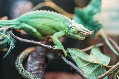 🔝 Check out this free photoAfrican chameleon Chameleon Lizard    ☑ https://avopix.com/photo/15095-african-chameleon-chameleon-lizard    #african chameleon #chameleon #lizard #person #animal #avopix #free #photos #public #domain